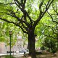 Ba_san_martin_park_tree