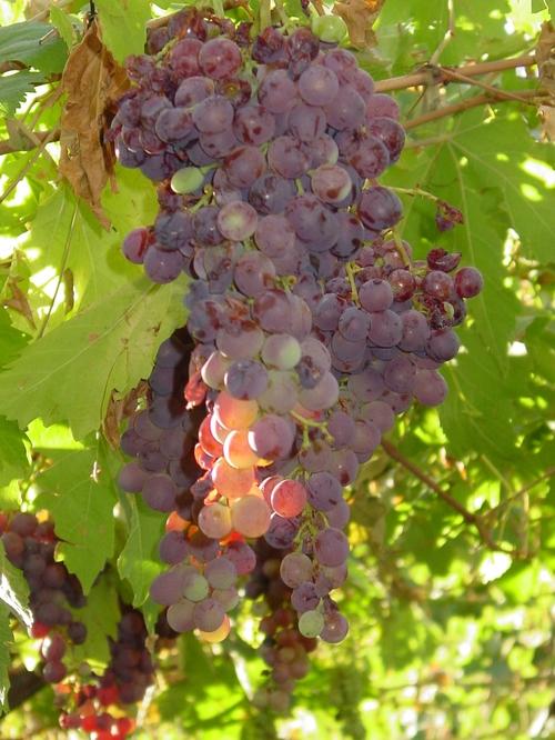 mendoza_grapes