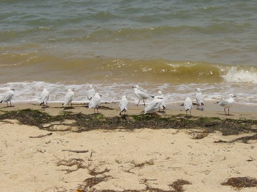 Cairns_birds_on_shore