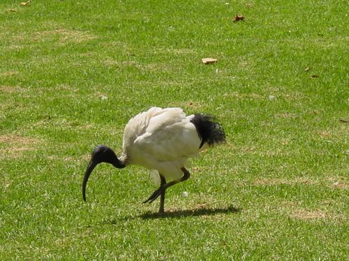 Sydney_hyde_park_bird