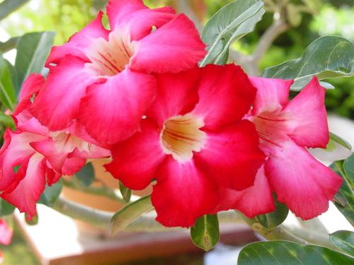 Phnom_phen_national_musuem_garden_flower_1
