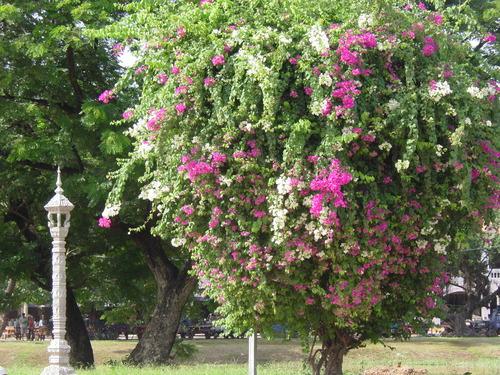 Siem_riep_tree
