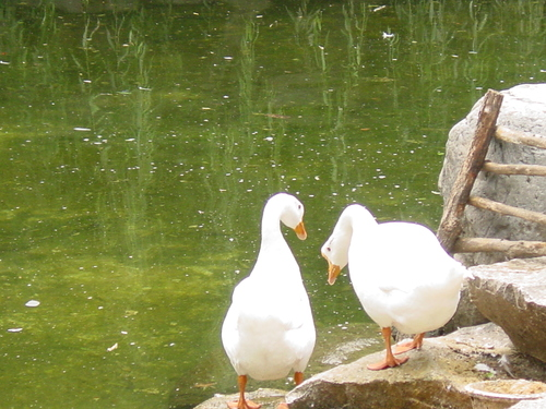 Great_wall_geese