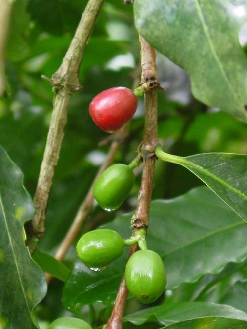 salento_coffee_plantation_walk_coffee_pl_3.jpg