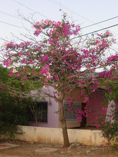 taganga_tree