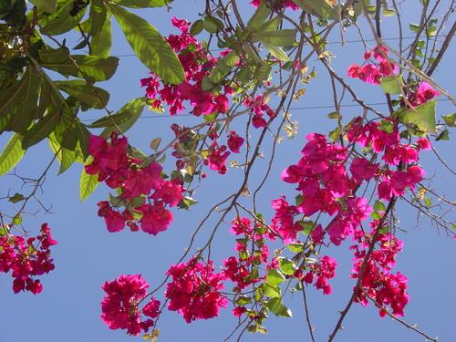 Hanga_roa_flowers