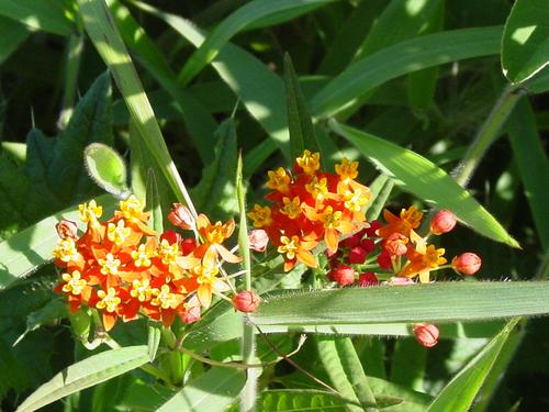 Orongo_flowers