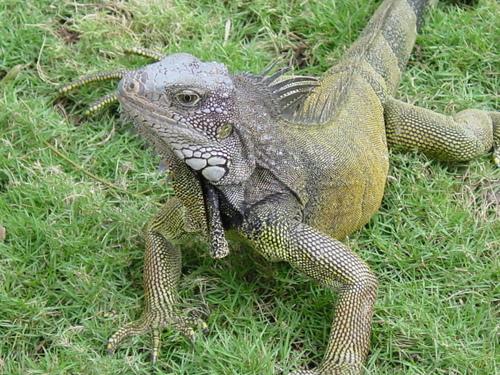 guayaquil_parque_bolivar_iguanas_i