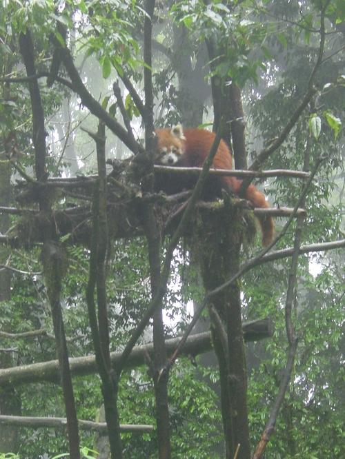 Darjeeling_zoo_red_panda
