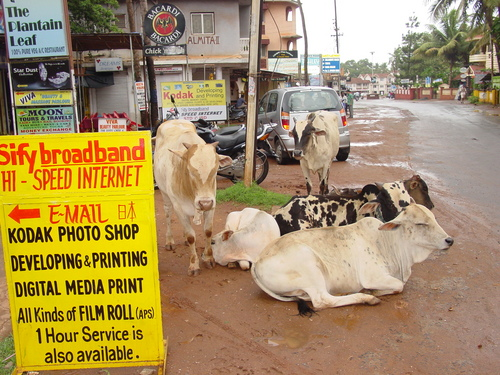 Goa_cows_on_calungate_road