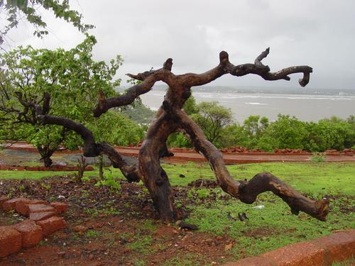 Goa_old_tree