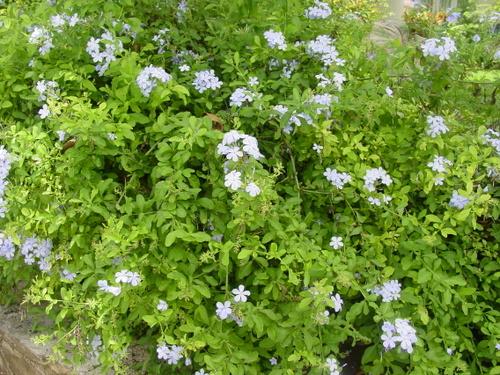Negril_blue_flowers