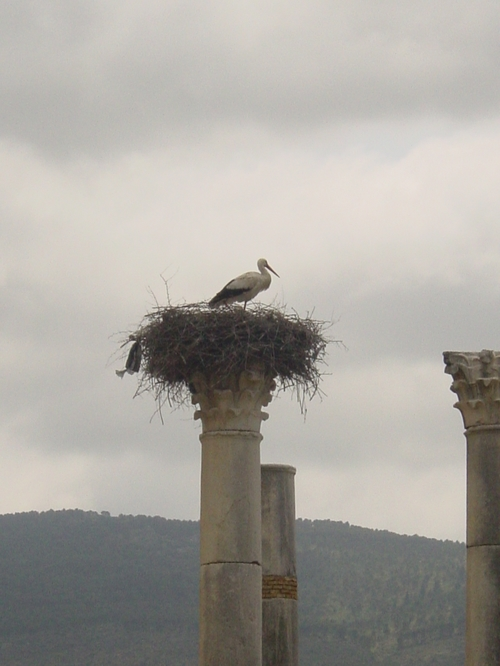 Volubis_bird_nest_on_column