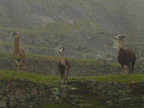 Machu_pichu_three_llamas