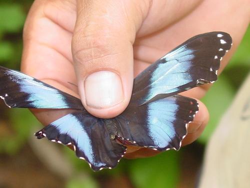 puerto_maldonado_butterfly_house_blue