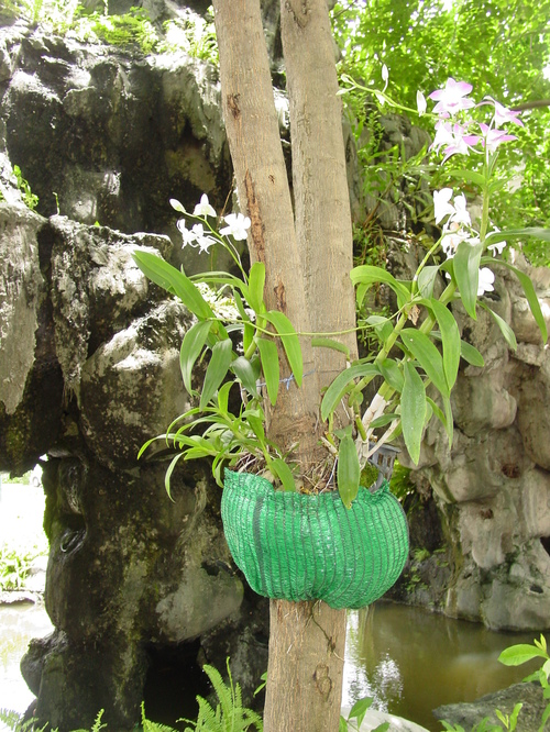 Bangkok_orchids_growing_on_tree