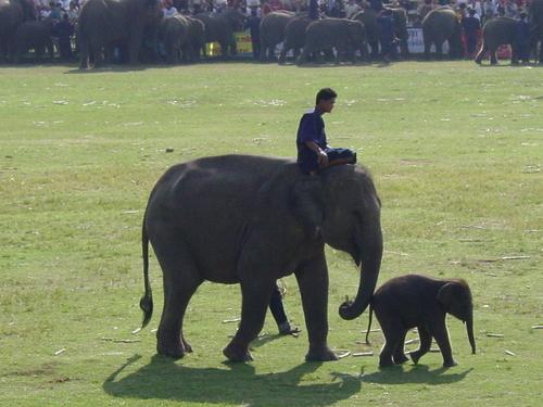 Surin_elephant_festival_baby_elephant