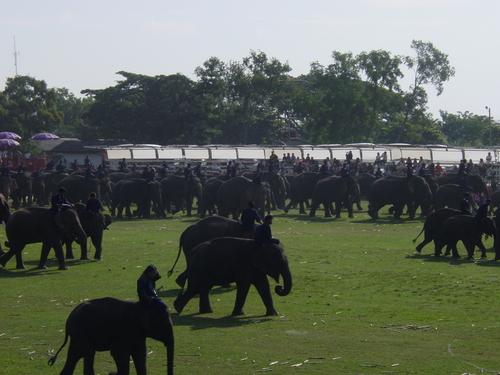Surin_elephant_festival_elephant_process