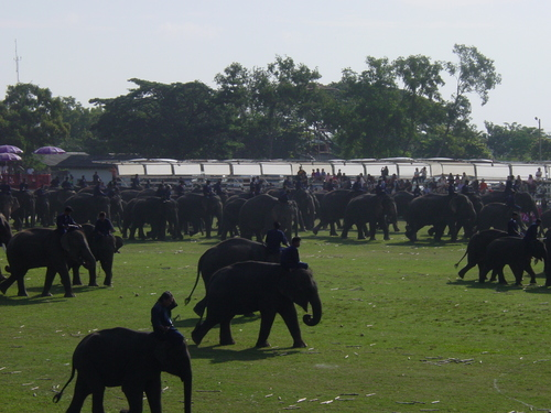 Surin_elephant_festival_elephant_process_1