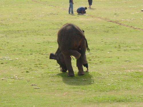 Surin_elephant_festival_elephant_trunk_s