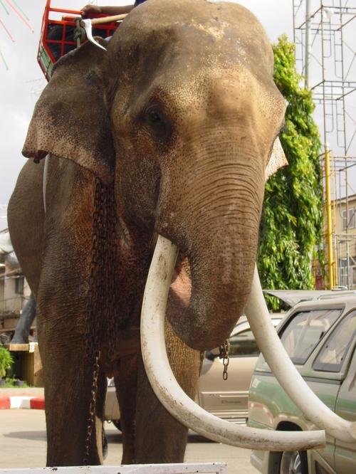 surin_jumbo_elephant_i