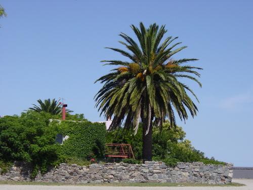 Colonia_palm_tree