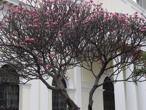 Caracas_tree