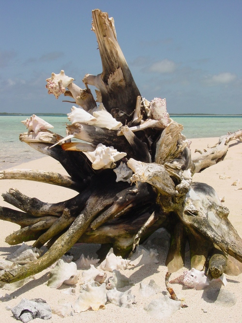 los_roques_sand_bar_shell_tree_ii