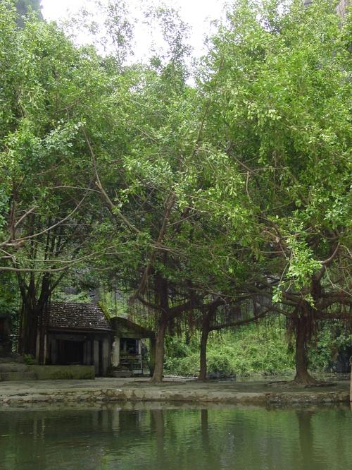 Tam_coc_trees