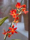 Edwards_orchid_march_26_2005_9