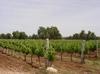 Essaouira_el_mogador_vineyard